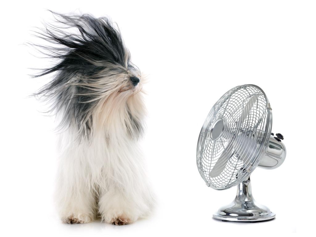 Un chien se tient à côté d'un ventilateur qui fonctionne. Il a les poils complètement dans le vent ! Cette photo, décaléee, illustre le titre de l'article : sèche-cheveux ...or not ?
